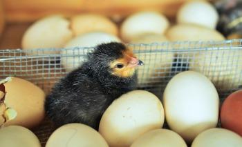 chicks-1280732_1920