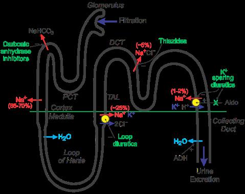 nephron-diuretics